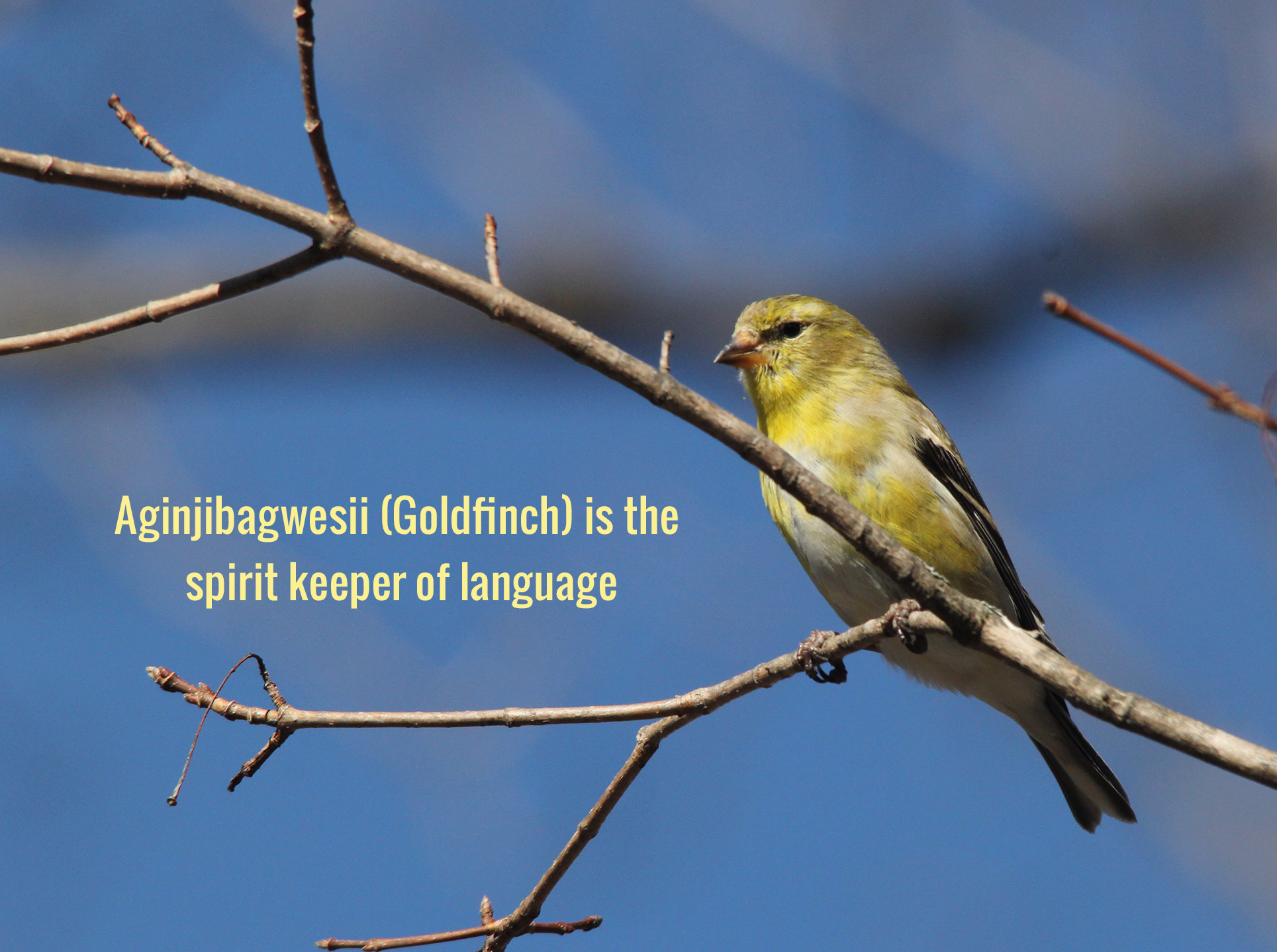 Aginjibagwesii (Goldfinch) is the spirit keeper of language